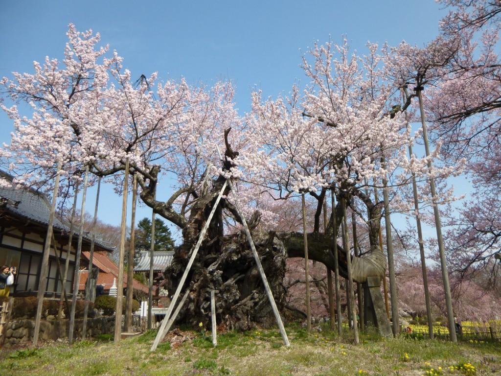 神代桜20160401