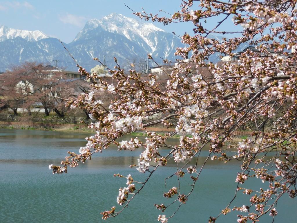 長坂牛池の桜