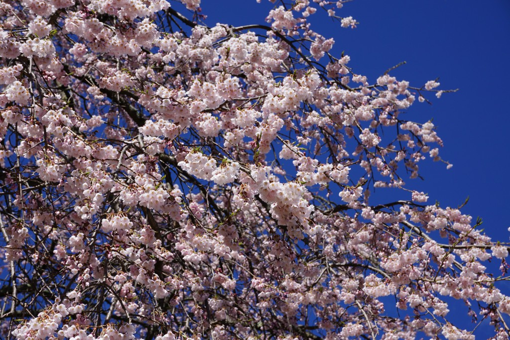 谷戸城址の桜