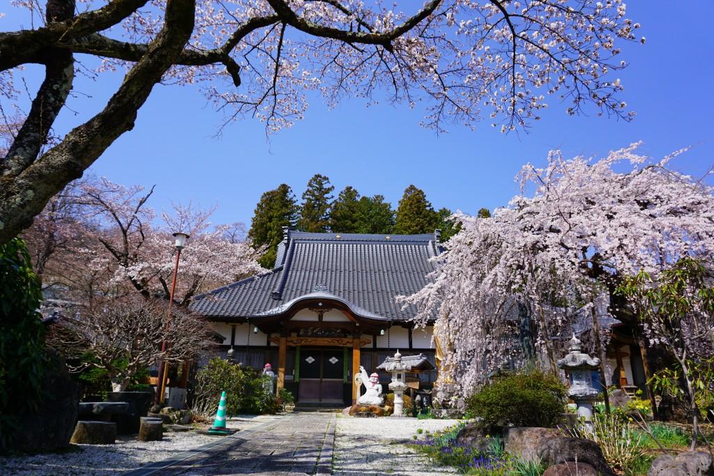 萬休院の桜 (3)