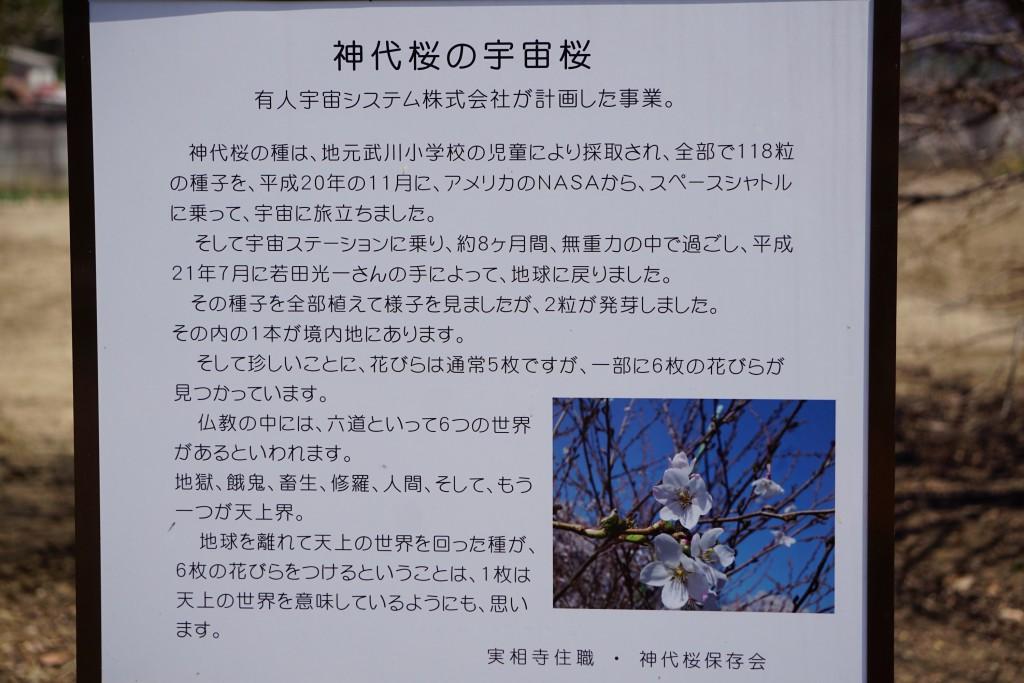 神代桜 (7)