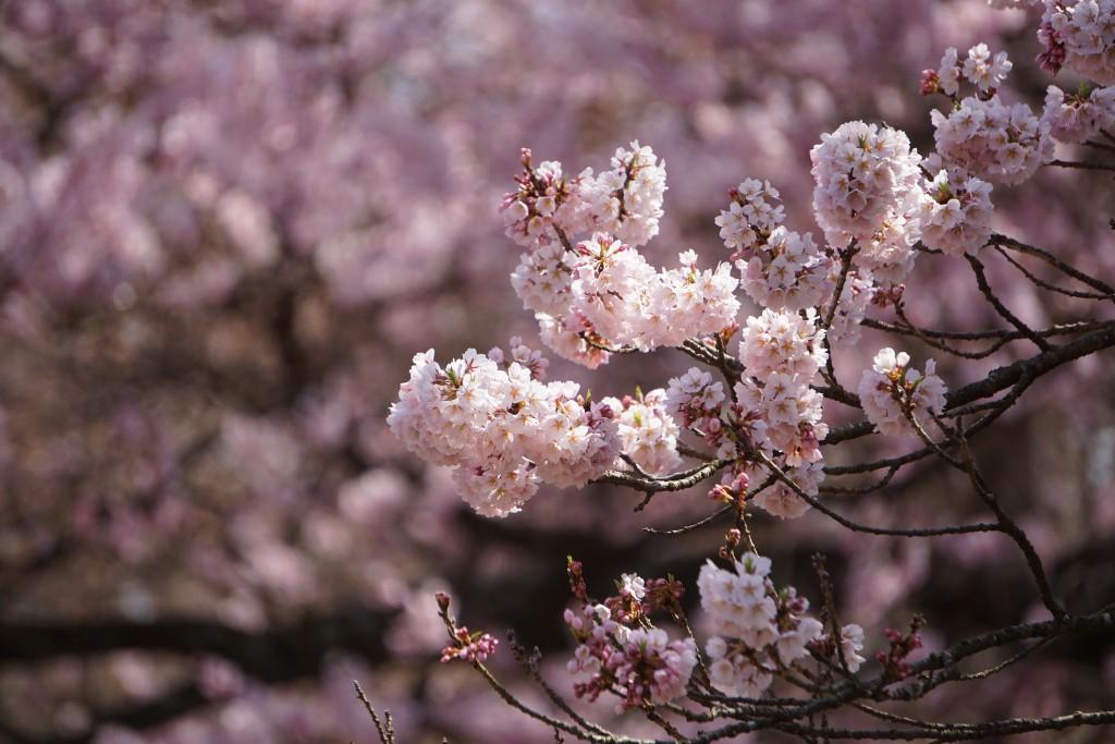 神代桜 (12)