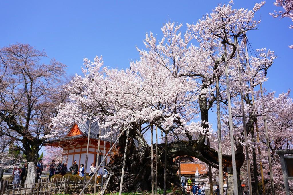 神代桜 (11)