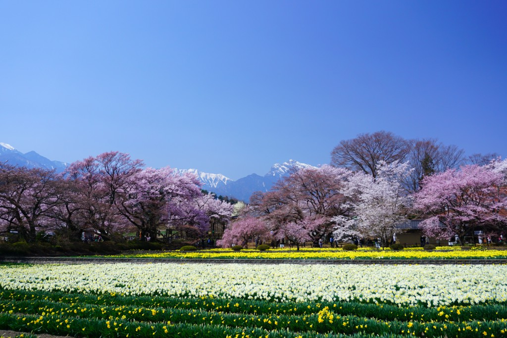 神代桜 (2)