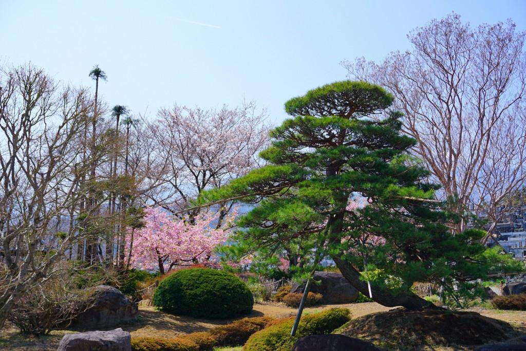 萬休院の桜 (2)