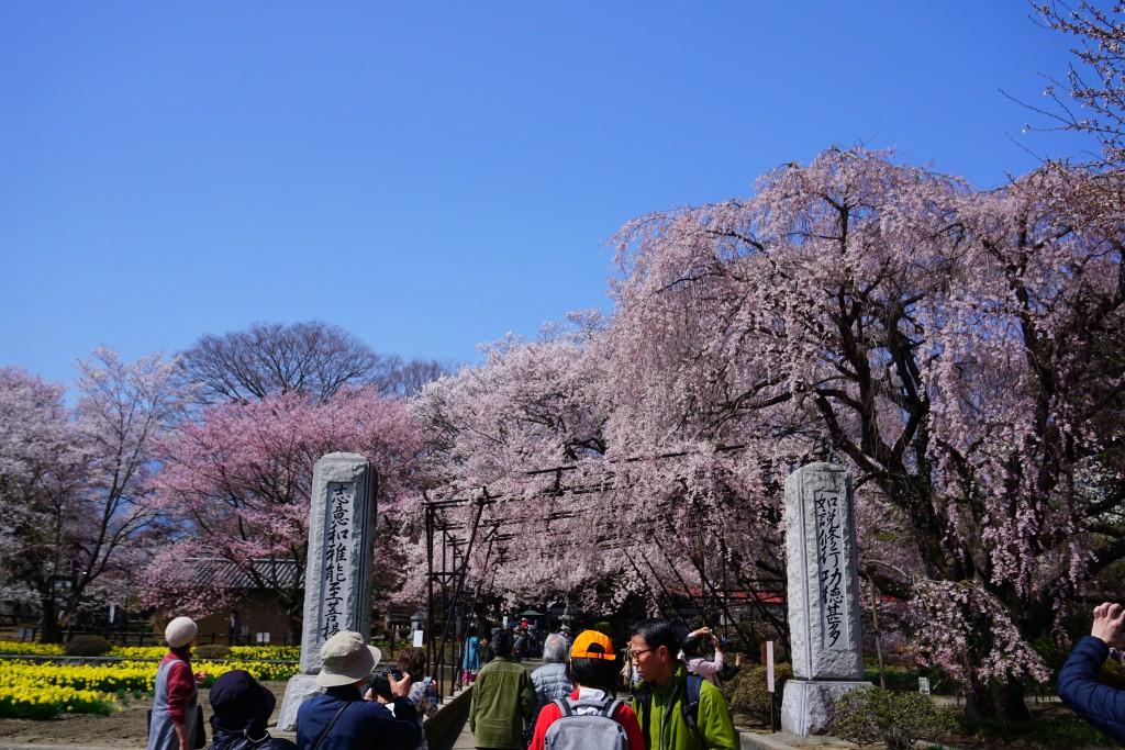 神代桜 (5)