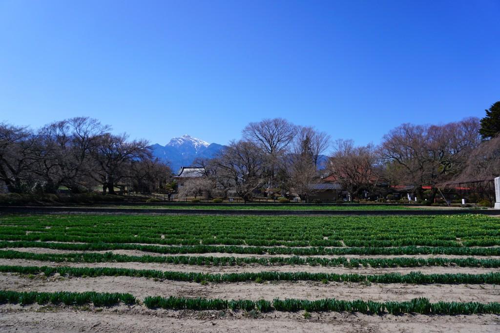 2018山高神代桜 (4)