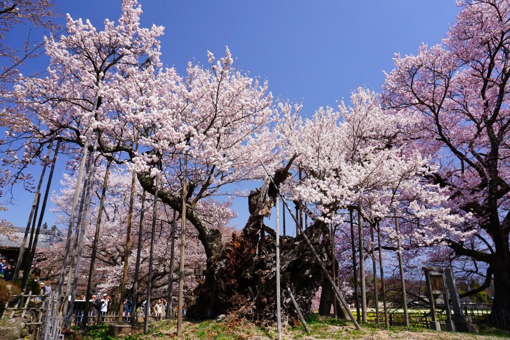 神代桜 (10)
