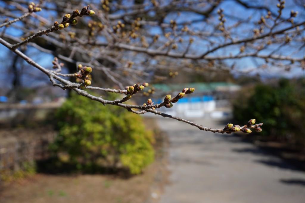 2018山高神代桜 (7)