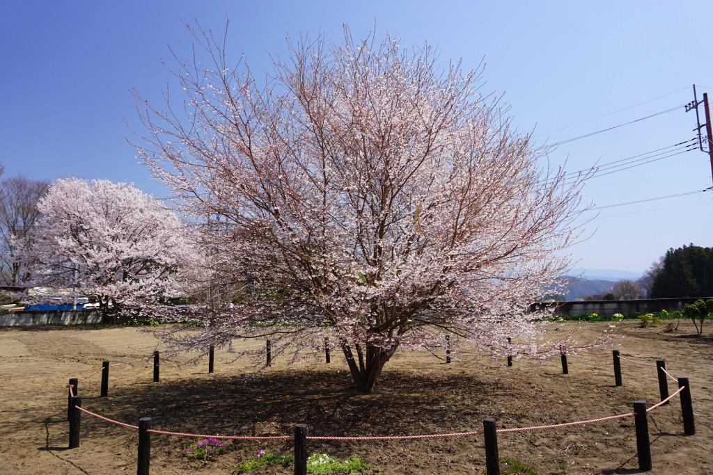 神代桜 (6)
