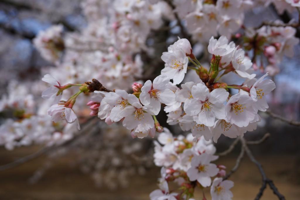 実相寺の桜 (4)
