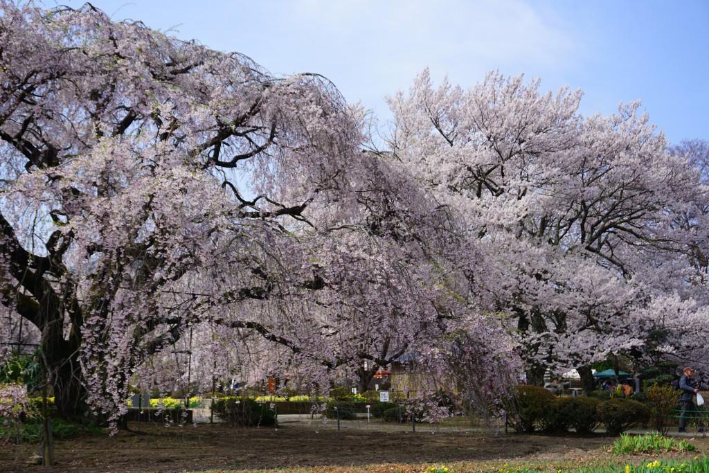 実相寺の桜 (2)