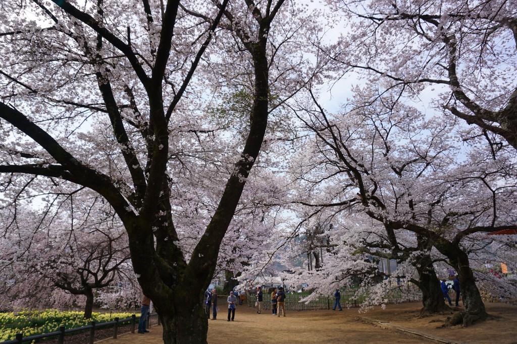 実相寺の桜 (5)