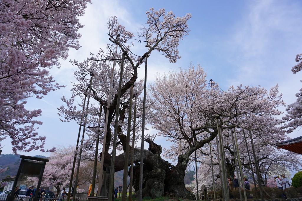 山高神代桜 (2)