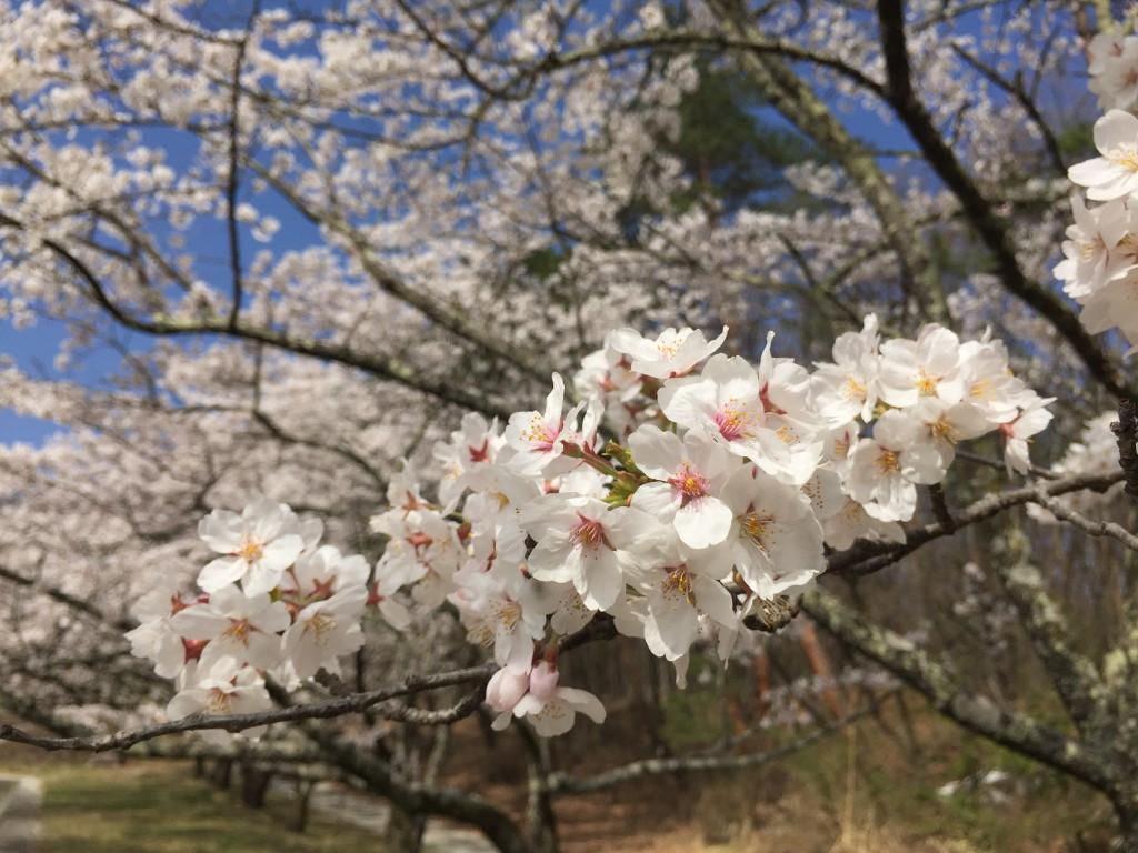 神宮川の桜並木 (3)