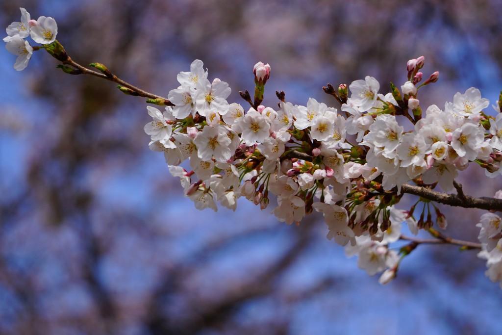 眞原桜並木 (4)