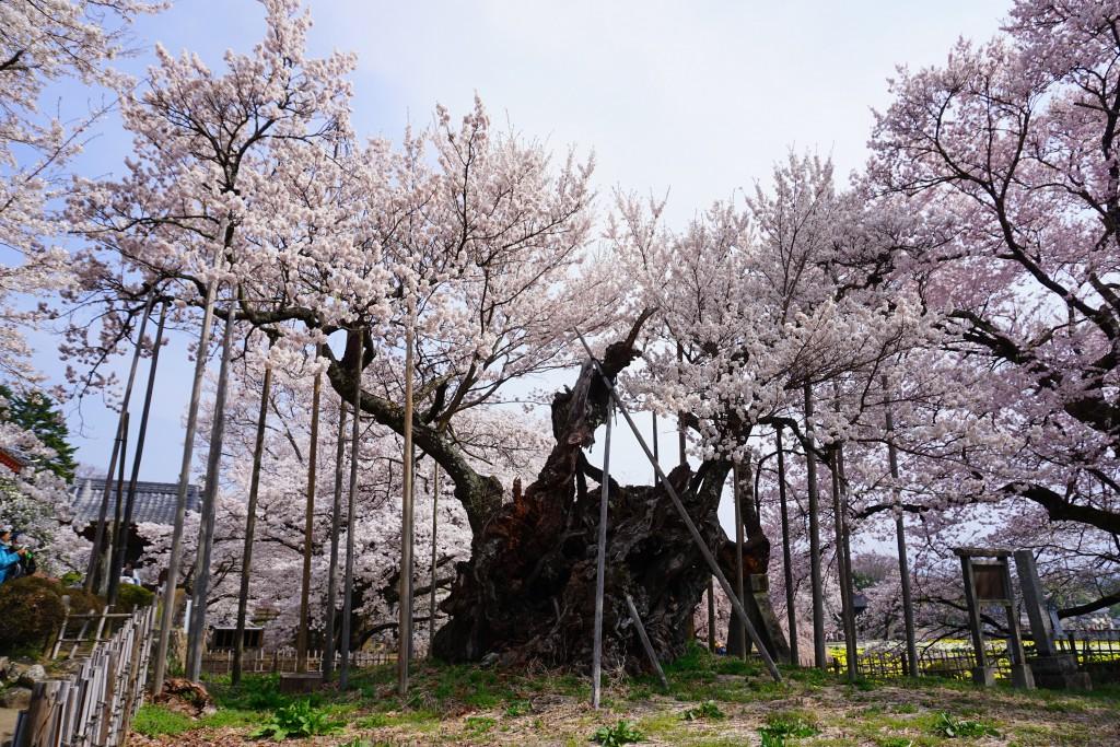 山高神代桜 (6)