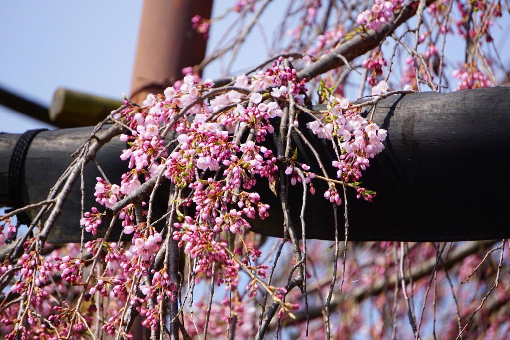 神田の大糸桜 (2)