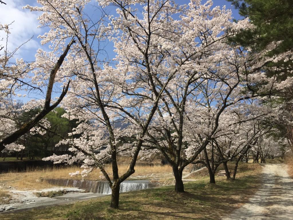 神宮川の桜並木 (4)