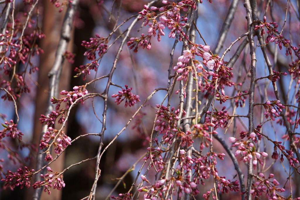 神田の大糸桜 (3)