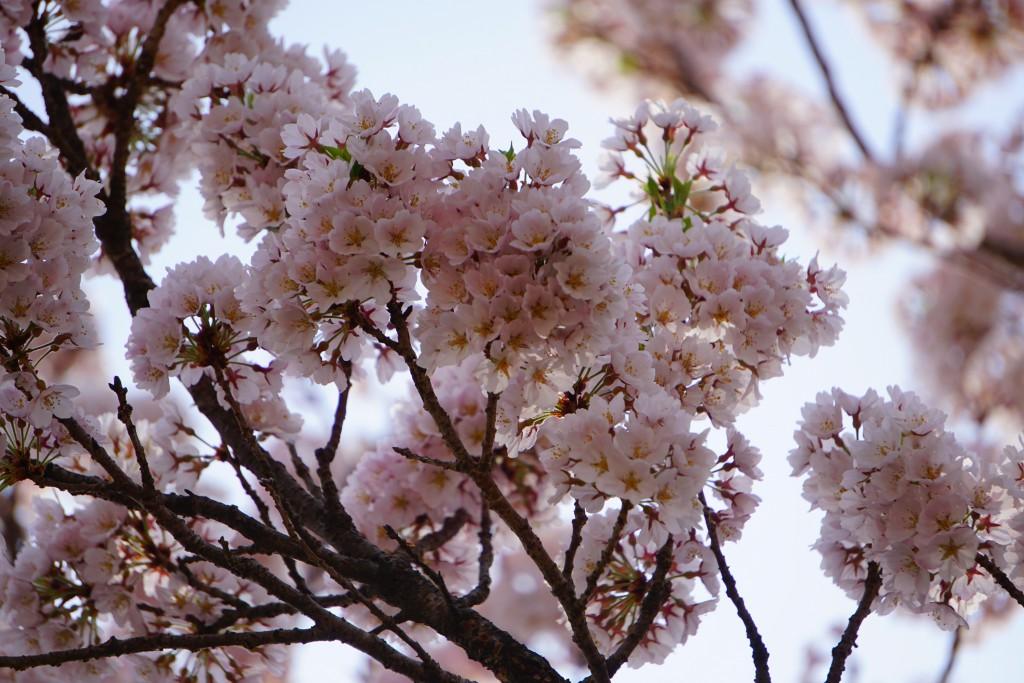 山高神代桜 (7)