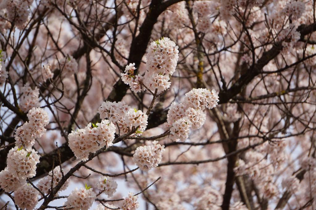 山高神代桜 (3)