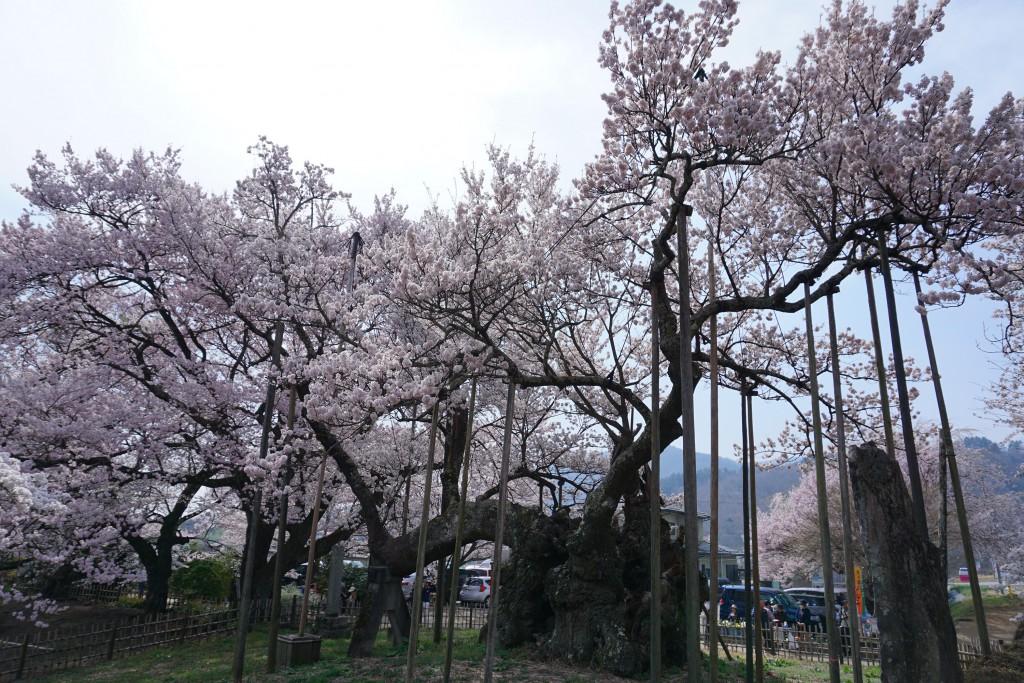 山高神代桜 (4)