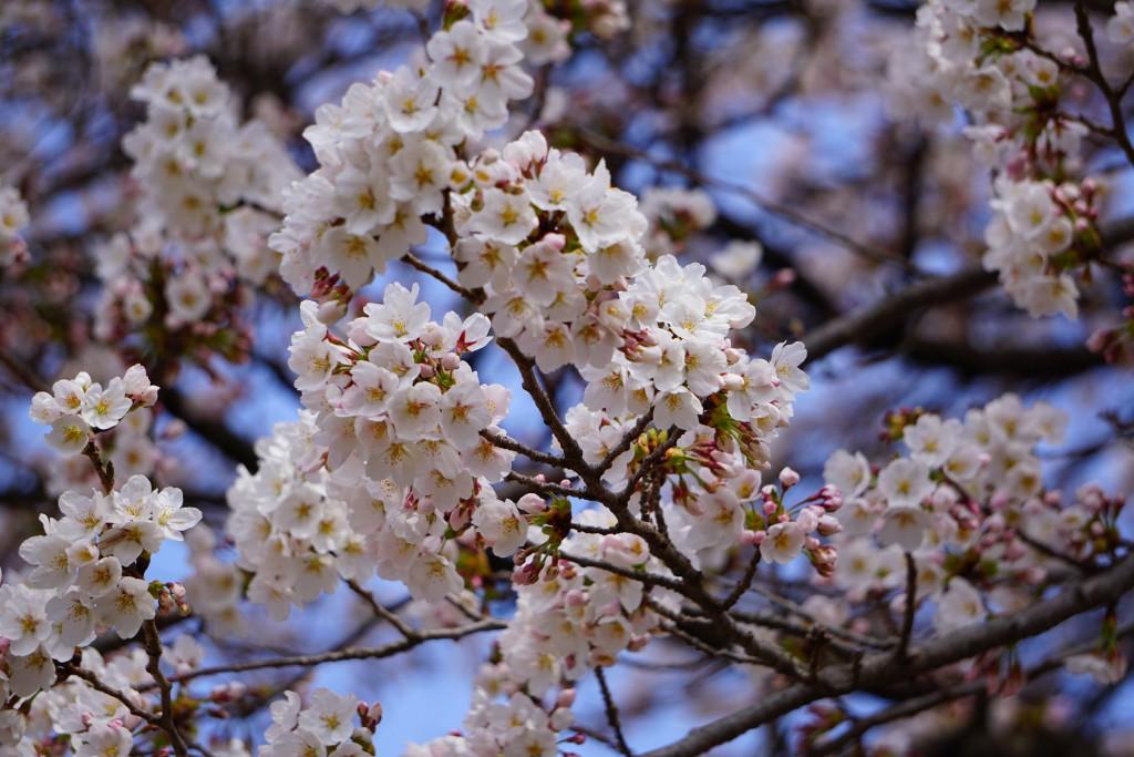 眞原桜並木 (3)