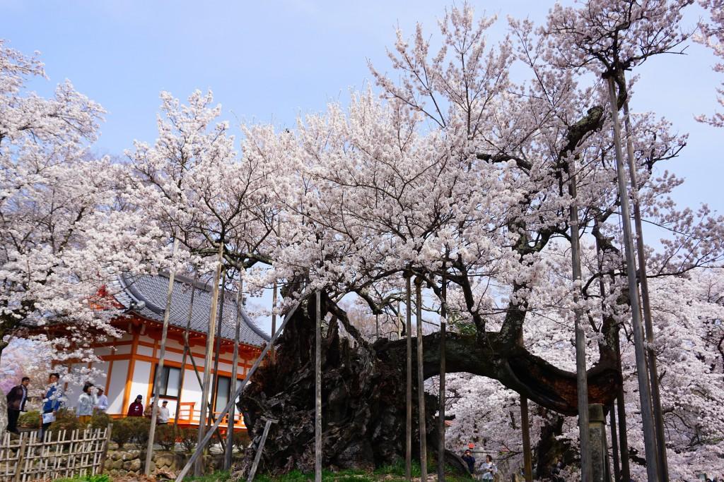 山高神代桜 (5)