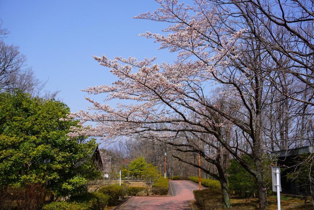 ふるさと公園の桜 (2)