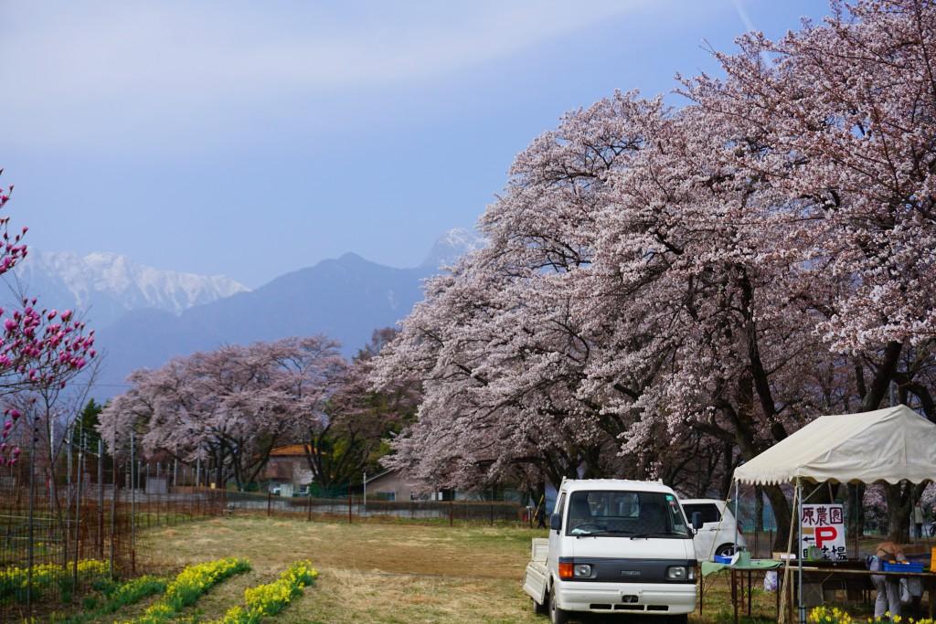 眞原桜並木 (2)