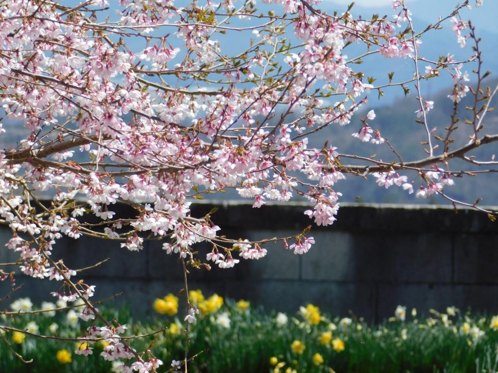 宇宙桜 (2)