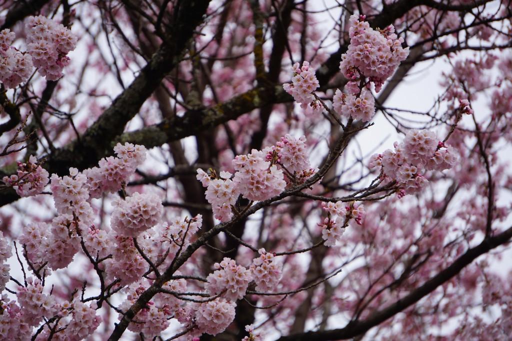 1.19.3.30 山高神代桜