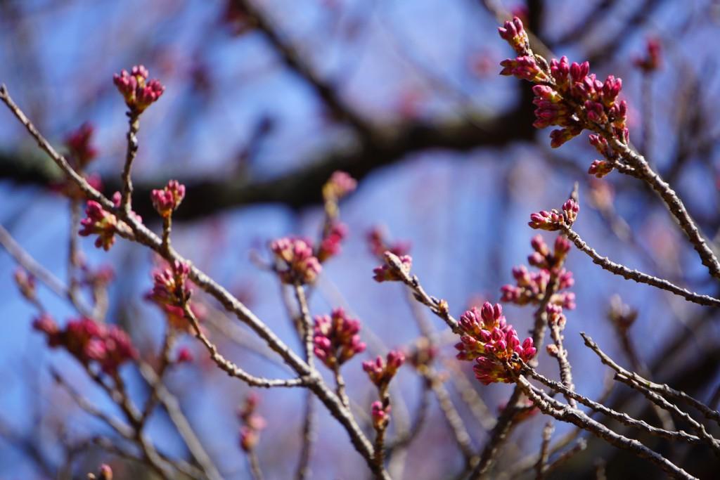 5 19.03.22 山高神代桜