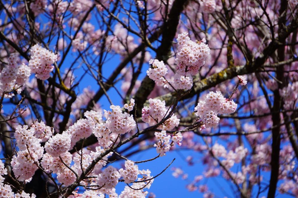 4.19.3.31 山高神代桜