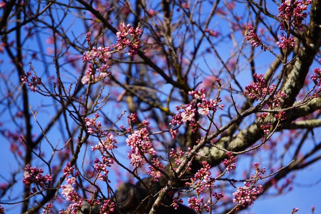 4.19.3.26 山高神代桜