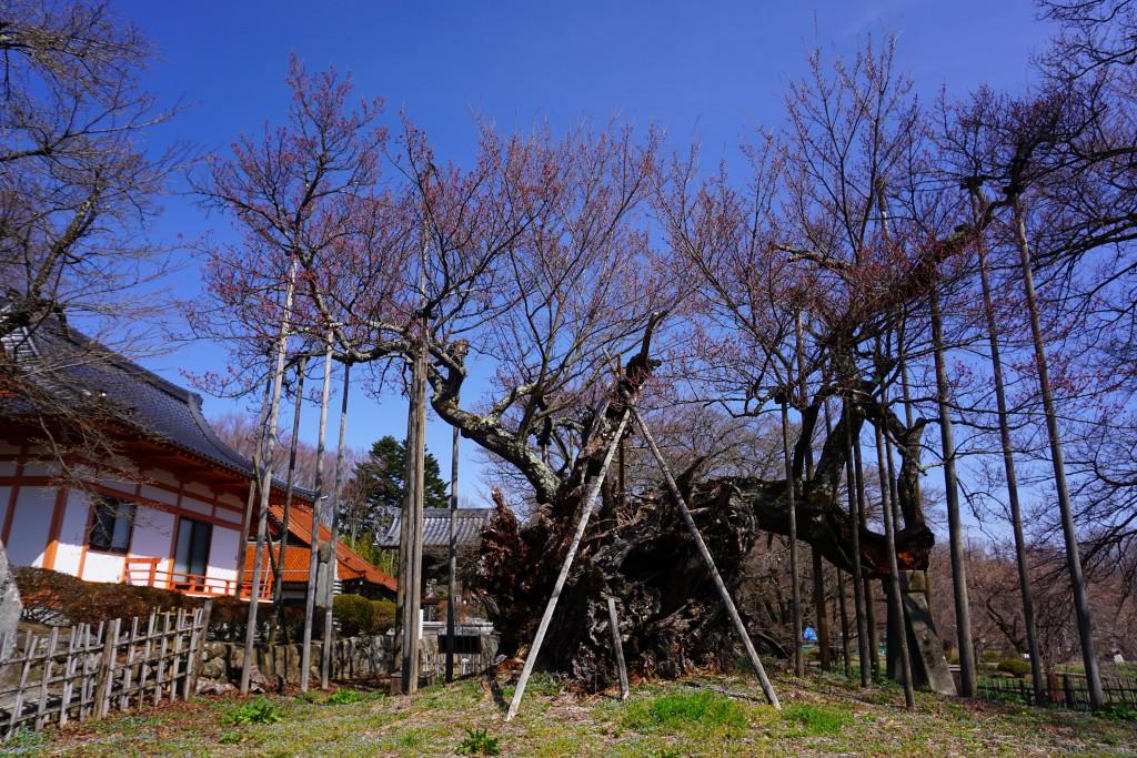 1 19.03.22 山高神代桜