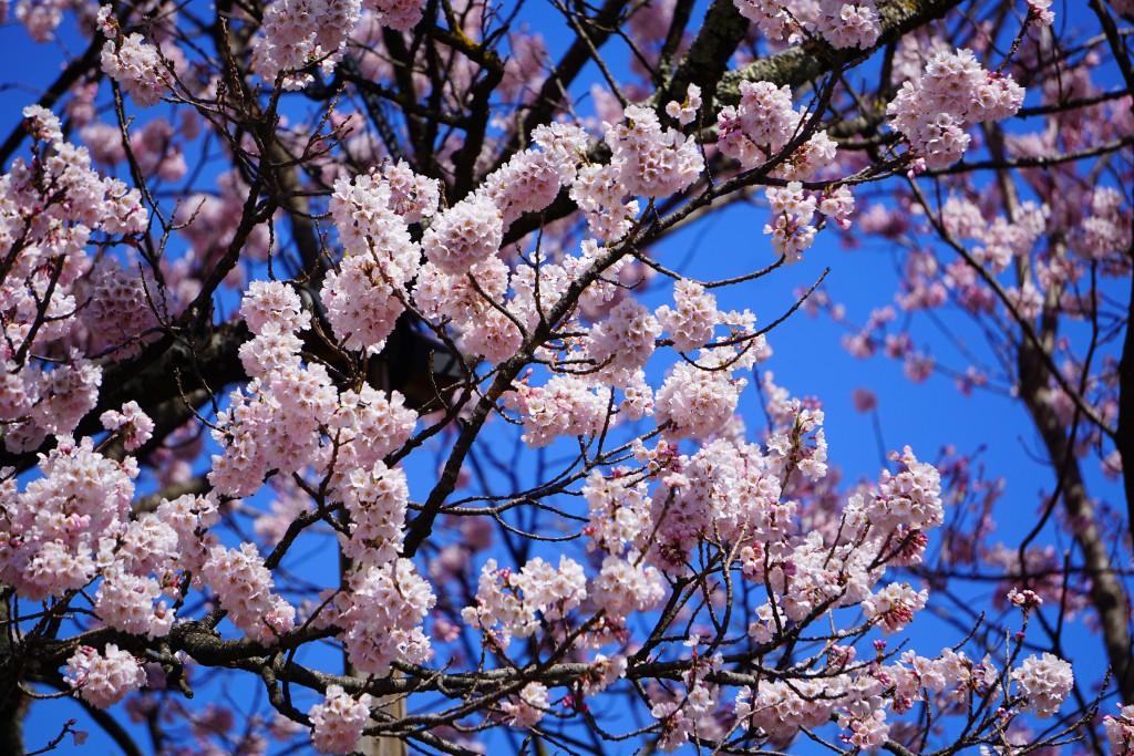2.19.3.31 山高神代桜