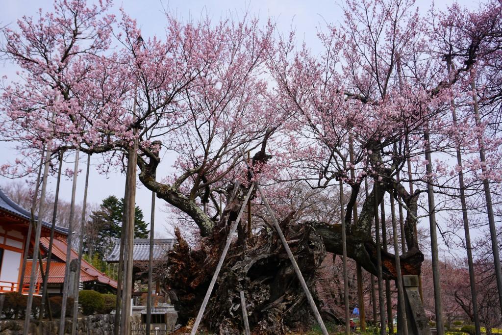 19.3.29 山高神代桜