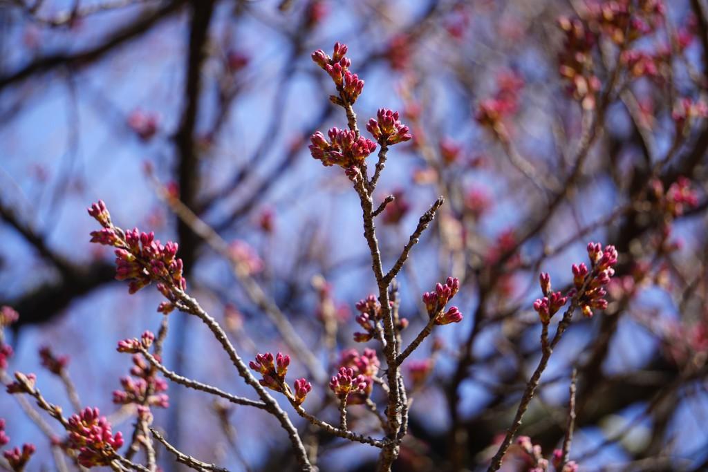 2 19.03.22 山高神代桜