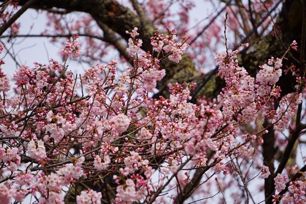 19.3.29 山高神代桜 (2)