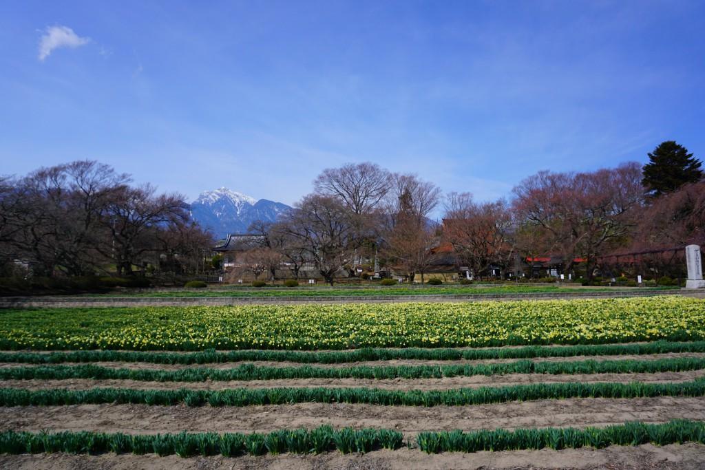 6 19.03.22 山高神代桜