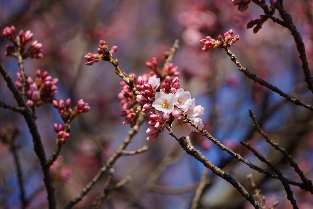 2.19.3.26 山高神代桜
