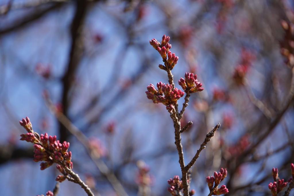 3 19.03.22 山高神代桜