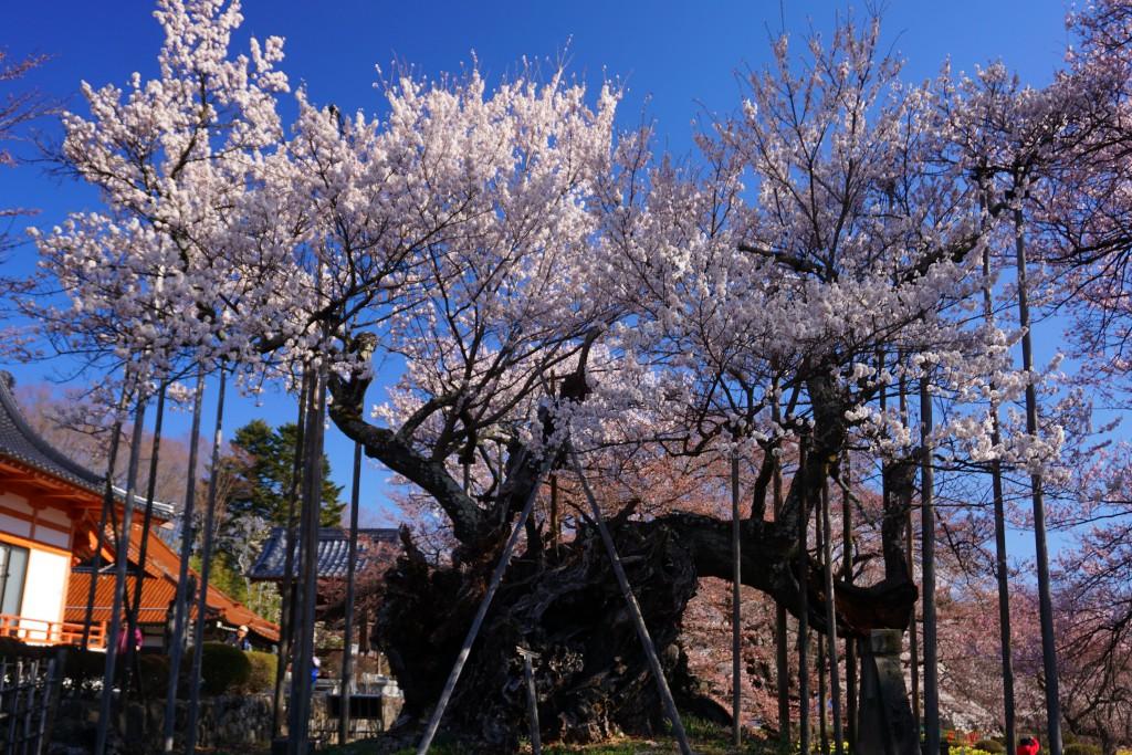 2.2019.4.4 山高神代桜