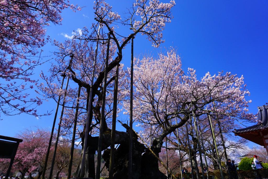 1.19.4.2 山高神代桜