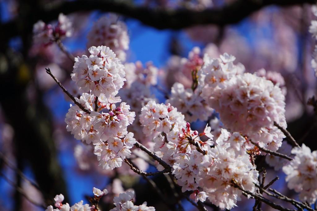 2.19.4.2 山高神代桜