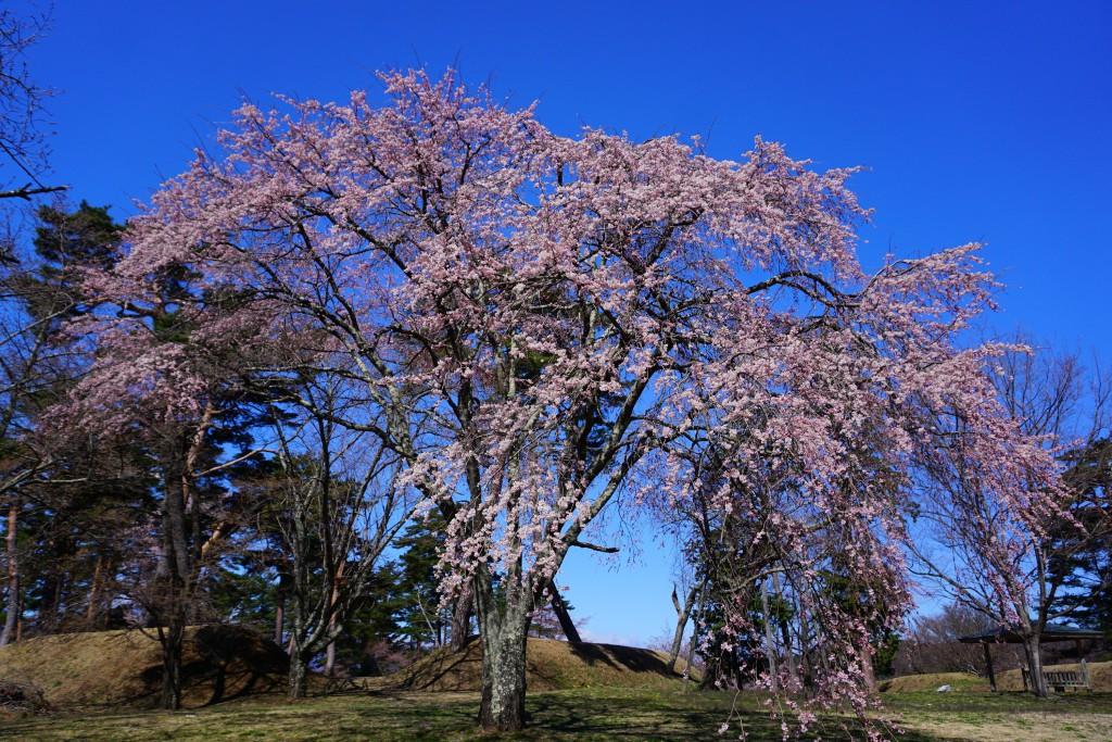 5.2019.4.15 谷戸城址公園の桜
