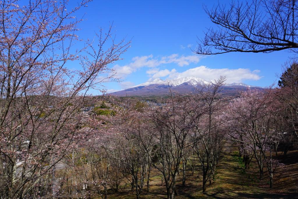 3.2019.4.15 谷戸城址公園の桜