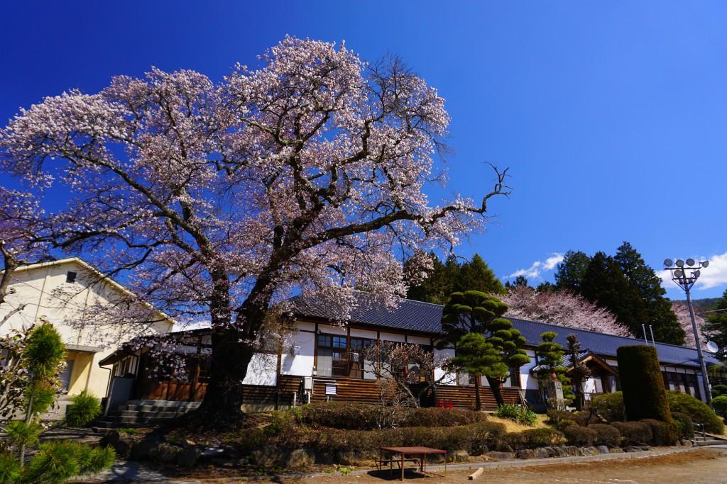 2.2019.4.15 三代校舎ふれあいの里の桜